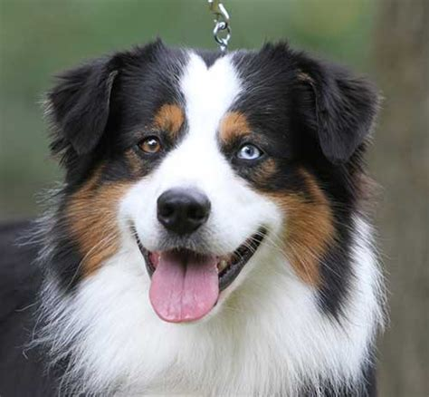 aussie breed miniature american shepherd and miniature australian shepherd breeders indiana