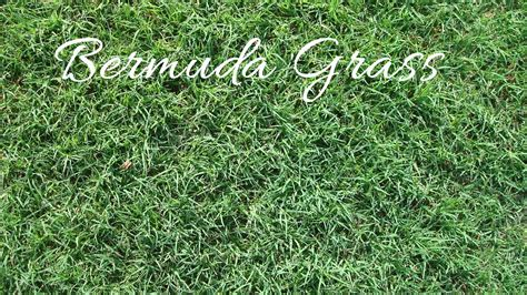 zoysia vs bermuda types of bermuda sod pictures to pin on pinsdaddy