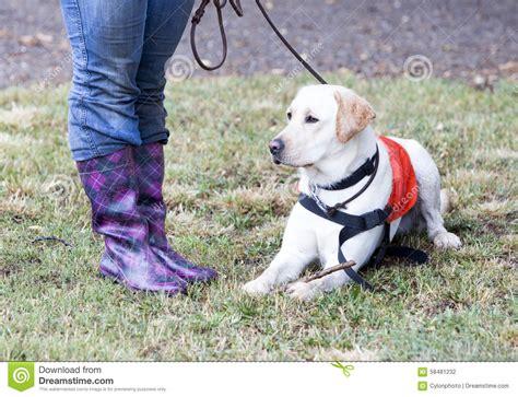 golden retriever guide dogs trainer and labrador retriever guide stock photo image 58481232