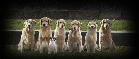 golden retriever puppies york pa golden retriever breeders in western pa assistedlivingcares