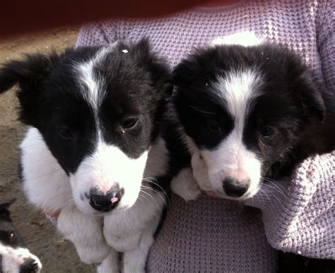 border collie puppies for sale border collie dogs and puppies for sale border collies for