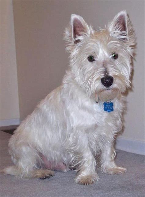 westie puppies for sale nc maltese puppies for sale in gastonia nc breeds picture