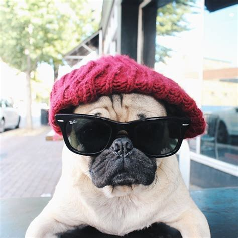doug the pug instagram meet doug the pug one of the most cutest dogs of instagram