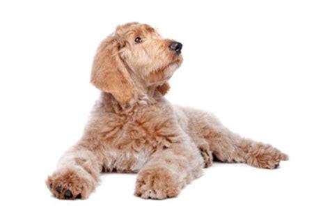 welche teppiche sind für hunde geeignet antiallergische hunderassen wissenswertes f 252 r allergiker