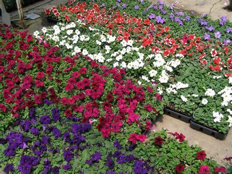 fiore petunia petunia piante annuali fiori petunie