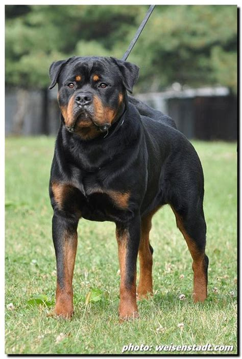 rottweiler india rottweiler puppies for sale ohinostros kennels 1 9794 dogs for sale price of