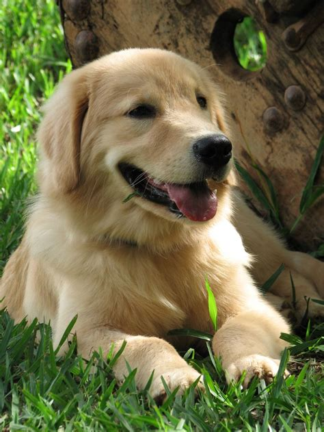 golden retriever shades 17 best images about who let the dogs out on puppys yorkie and your