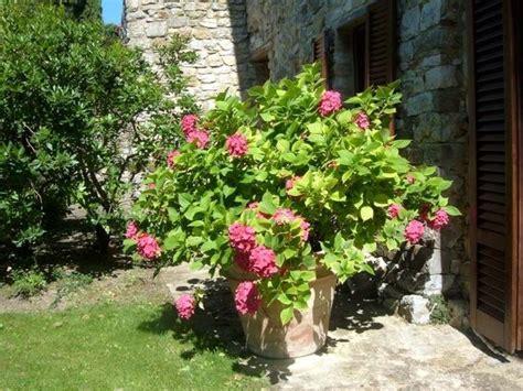 ortensia in vaso cura ortensie in vaso piante da giardino coltivare le