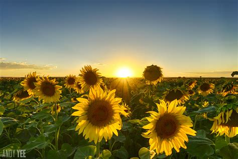 sunflower fields denver denver colorado sunflower fields just to the