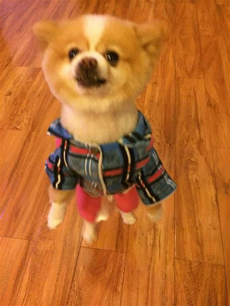 pomeranian walking on hind legs upset about haircut walks on hind legs in protest for three days