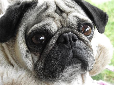 pug puppies price range 5 most expensive breeds to own animal bliss