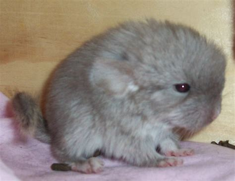 Funny chinchilla Photos   Funny Images Show