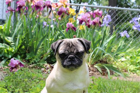 pugs and roses flowers archives about pug