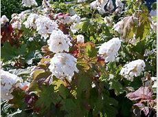Hydrangea quercifolia 'Snow Queen' (Snow Queen Oakleaf ... Oakleaf Hydrangea Snow Queen