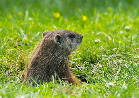 groundhog day up the true story groundhog day history
