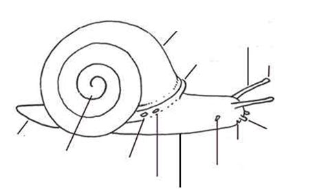 diagram of land snail 17 best images about minibeasts on coloring