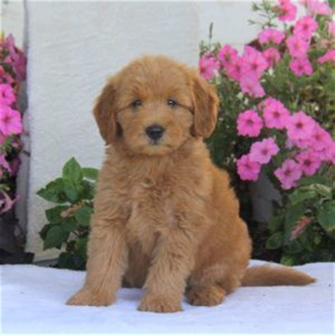 labradoodle puppies for sale in md 25 best ideas about labradoodle puppies for sale on australian