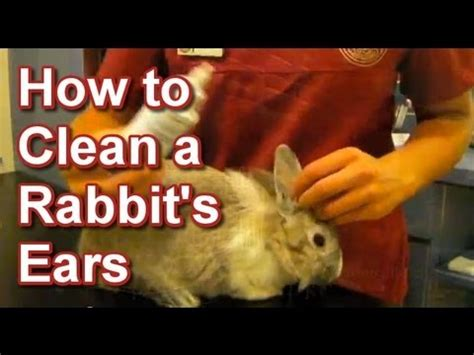 How Do I Clean A by How To Clean A Rabbit S Ears Wai Small Animal