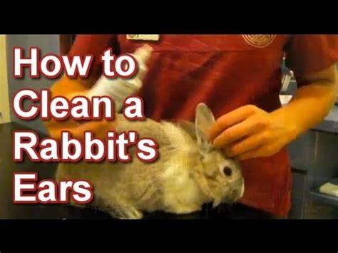 how to clean a rabbit s ears tai wai small animal exotic veterinary hospital youtube