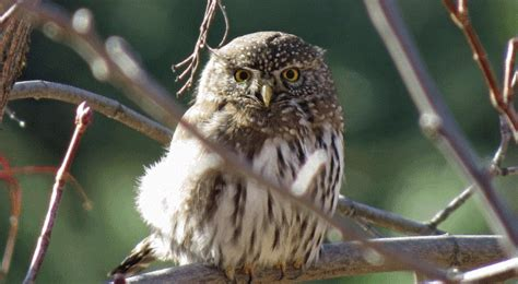 what do owls eat definitive guide to 33 types of owls