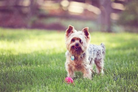 facts about yorkie puppies 10 amazing facts about terriers yorkie facts