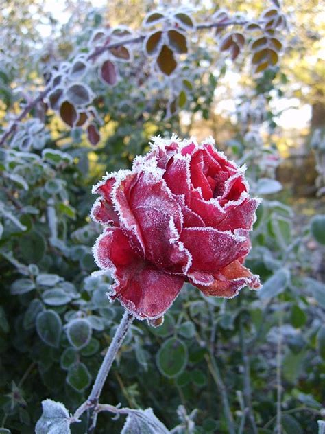 flower winter frost pink leann cold roses photo