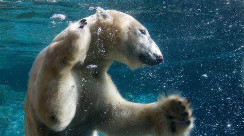 imagenes animales hd 1080p funny animals swimming polar bear full 1920x1080 fondo