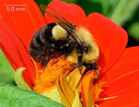 Picture Key: Bees | Spring Wild Bees of Wisconsin