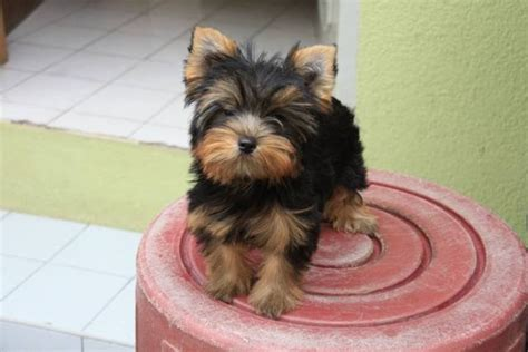 purebred yorkie rescue purebred yorkies for adoption breeds picture