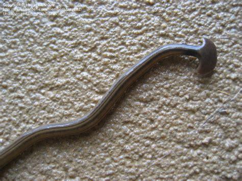 bug pictures hammerhead worm land planarian bipalium