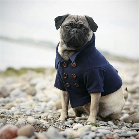 clothes for pug fashionable doggie attire the sweetest occasion