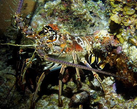colorful lobster colorful caribbean reef lobster near reef photograph by