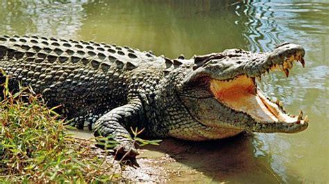 hocico de cocodrilo en cartulina 5 diferencias entre cocodrilos y caimanes
