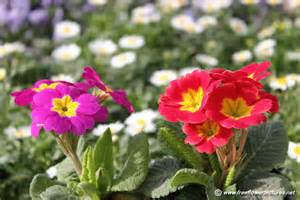 flower image primula flower picture flower pictures 5548