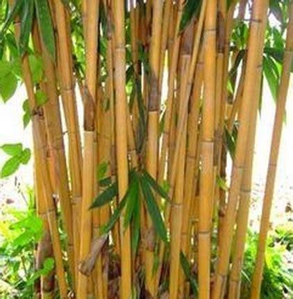 Jual Lu Hias Bambu tanaman bambu kuning besar jual tanaman hias