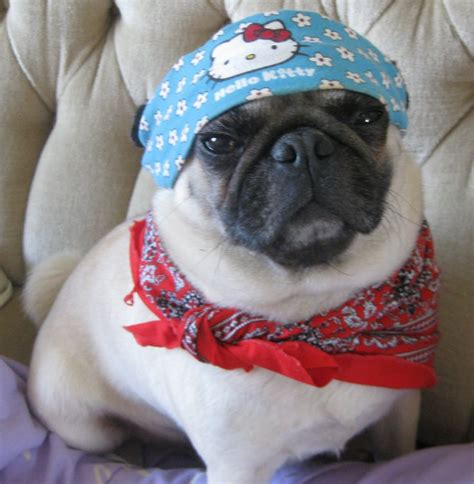 pug clothes india 17 best images about hello on pretty cakes hello cake and