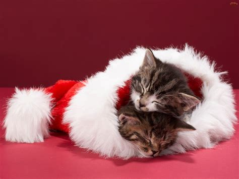 images of christmas cats cats images christmas kittens hd wallpaper and background