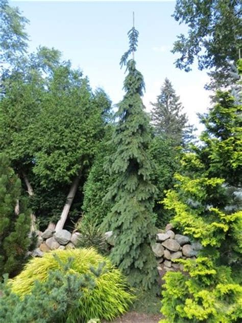 weeping white spruce this tree pure awesome so narrow great accent near a tall house or