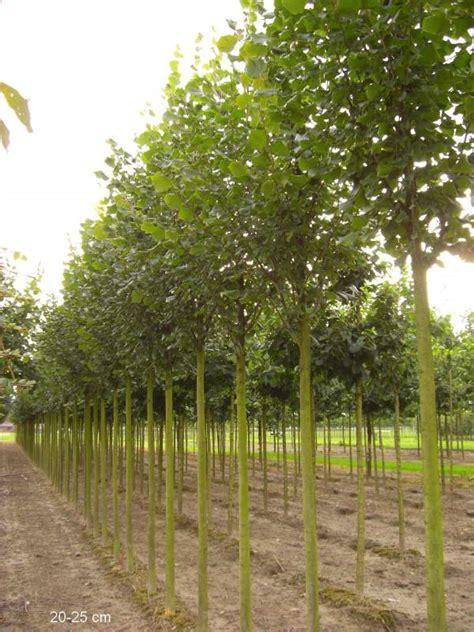 japanische bäume für den garten kaufen b 195 164 ume dritter ordnung kaufen ersatzpflanzung mr