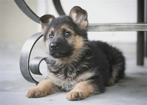 how to a german shepherd how to get to like german shepherd puppies