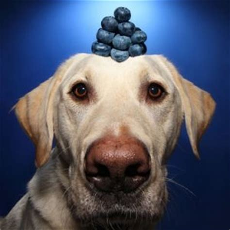 blueberries for dogs can dogs eat blueberries how safe is low calorie treat