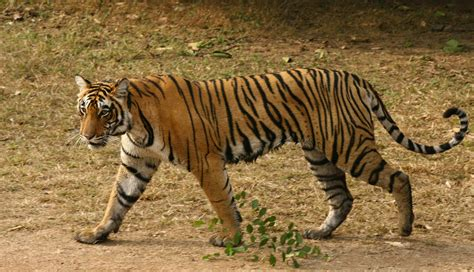 the tiger who would india shooting orders issued for yet another man eating