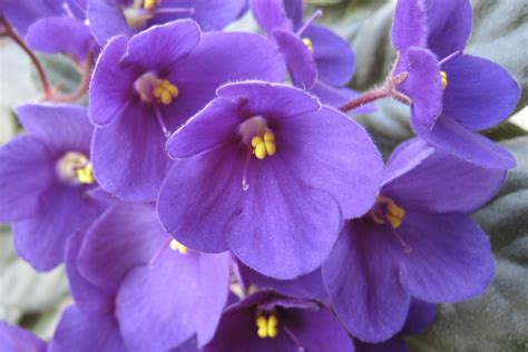 state flower of illinois purple violet illinois state flower because it s not