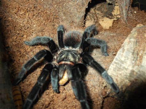 Tarantula B Vagans b vagans weasyl