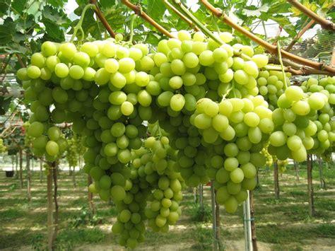 uva da tavola puglia uva da tavola dalla puglia in tutto il mondo fresh