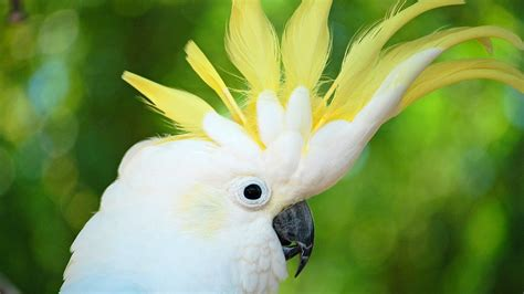 cockatoo bird photos latest free hd wallpapers download