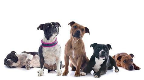 Собака бойцовской породы фото