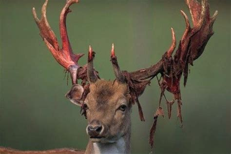 Do Reindeer Shed Their Antlers by Image Gallery Shedding Antlers