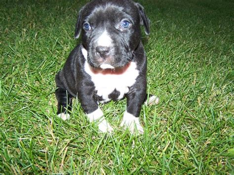 Blue Nose Pits For Sale In Michigan View Ad American Pit Bull Terrier Puppy For Sale