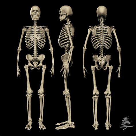 skeleton anatomy anatomy skeleton by veus t on deviantart